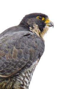 peregrine-falcon-by-eric-zetterholm