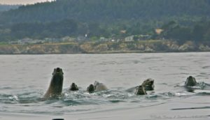 sea-lions-seen-from-a-kayak-june-by-craig-tooley