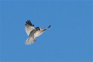 white-tailed-kite-by-allen-vinson
