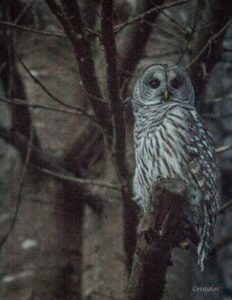 barred-owl-by-allen-francis