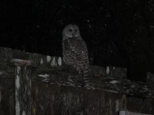 barred-owl-by-lita-gitt
