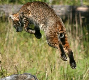 bobcat-leaping-by-drew-fagan-medium