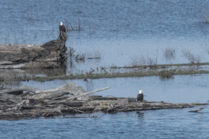 two-bald-eagles-in-the-gualala-river-by-chris-beach