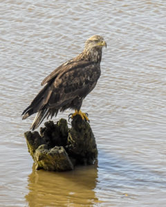 young-bald-eagle-by-chris-beach