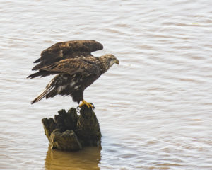 young-bald-eagle-stretches-its-wings-by-chris-beach
