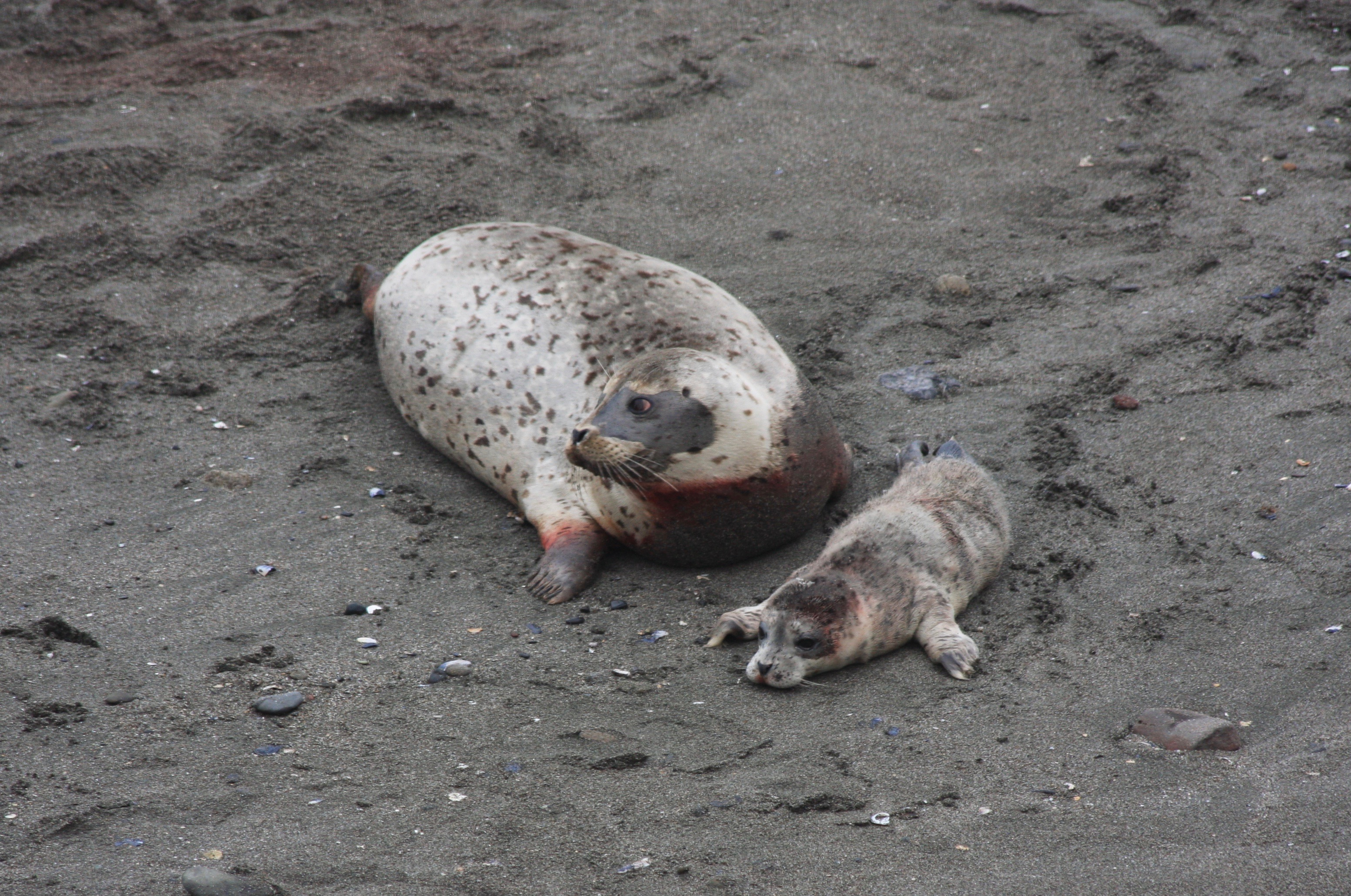 More Harbor Seal pups are appearing. – Mendonoma Sightings