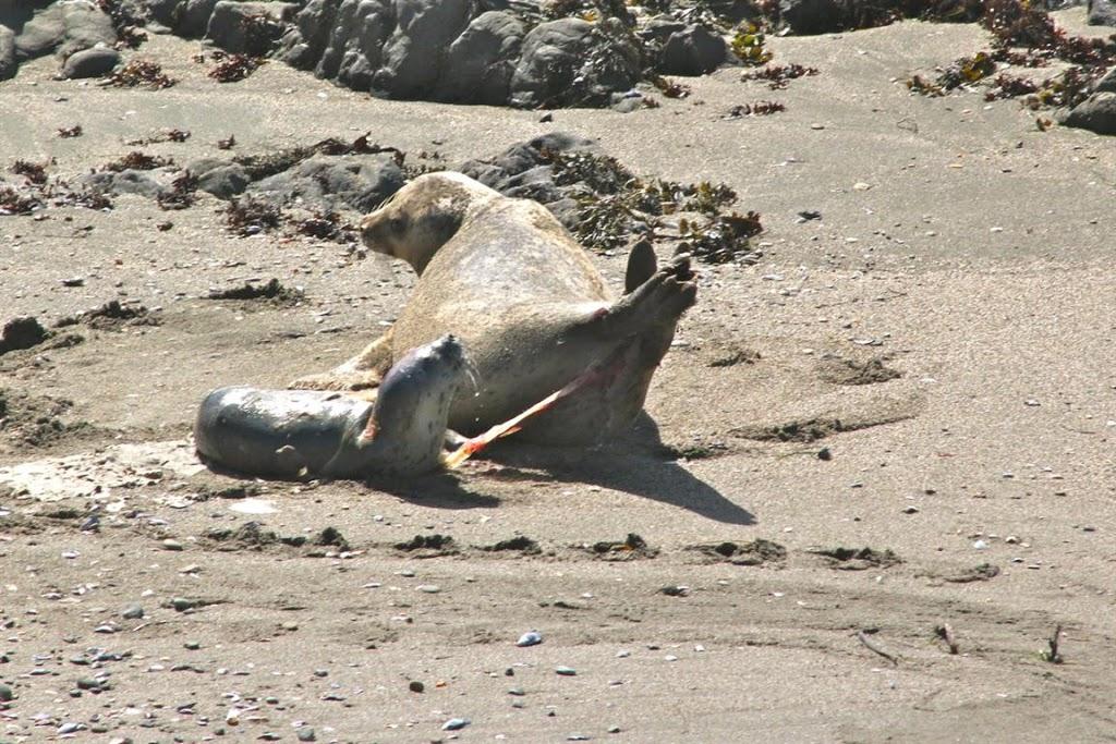 Sea Ranch Harbor seals