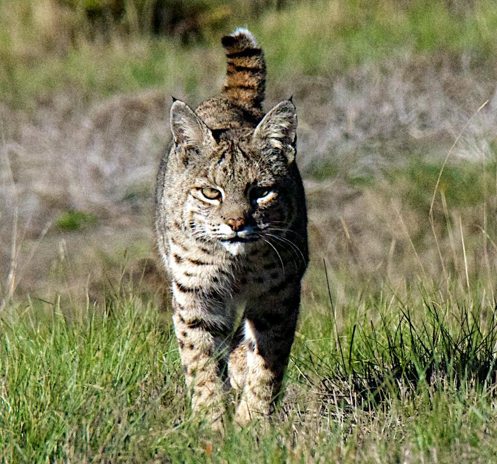 bobcat - photo #48
